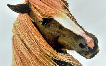 horse, mane