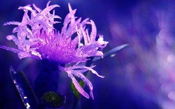 макро, цветок, роса, капли, василек, боке