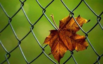 macro, autumn, sheet, mesh, maple leaf, netting