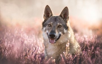 face, flowers, look, bokeh, heather, volkosob, a hybrid of dog and wolf