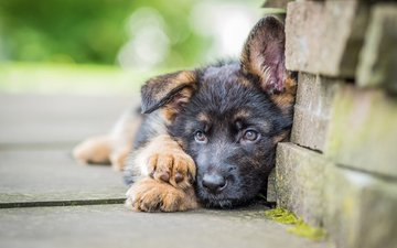 muzzle, look, dog, puppy, german shepherd, shepherd