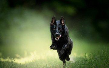 трава, собака, язык, бег, немецкая овчарка, овчарка