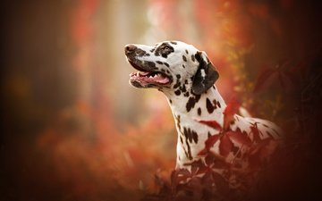 портрет, собака, профиль, далматин, боке