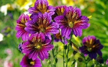 цветы, природа, лето, фиолетовые цветы, сальпиглоссис