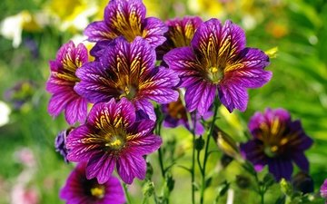 blumen, natur, sommer, lila blumen, сальпиглоссис