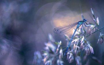 природа, макро, насекомое, крылья, стрекоза, боке, травинка