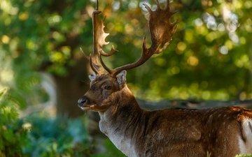 природа, олень, блики, рога