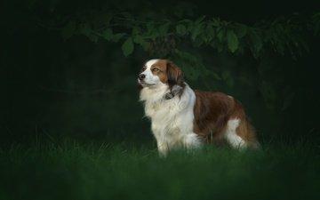 трава, природа, собака, австралийская овчарка, аусси