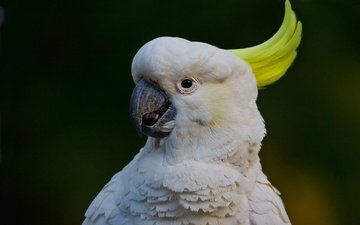 bird, beak, feathers, parrot, big jeltuhay cockatoo, cockatoo