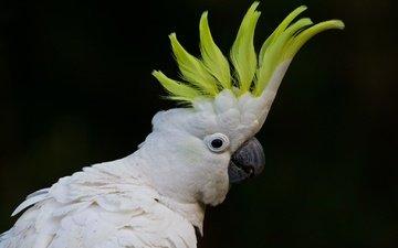 птица, клюв, черный фон, перья, попугай, большой желтохохлый какаду, какаду