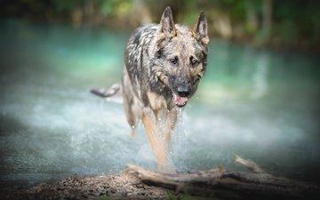 река, собака, друг, малинуа, бельгийская овчарка, .бельгийская овчарка
