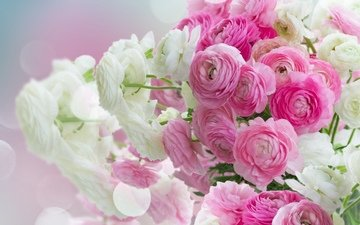 pink flowers, white, beautiful, flowers, ranunculus, buttercups, pink