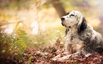 plants, muzzle, look, dog, setter, the english setter