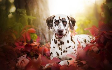 трава, листья, портрет, мордочка, взгляд, осень, собака, далматин