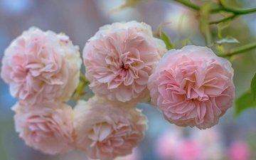 цветы, ветка, бутоны, макро, розы, лепестки