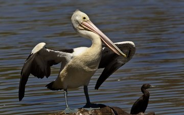 water, wings, birds, bird, beak, pelican, cormorant