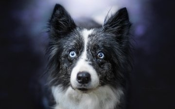 eyes, muzzle, look, dog, each, the border collie