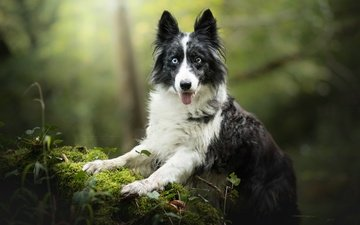 muzzle, look, dog, moss, bokeh, the border collie