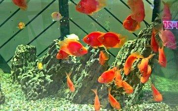 рыбы, аквариум, золотая рыбка, риф, аква