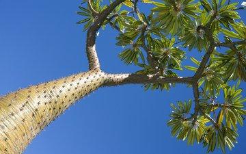 небо, природа, дерево, макро, пальма, мадагаскар
