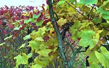 природа, виноград, сетка, ограда