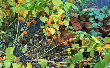 цветы, природа, настроение, цветок, осень, забор, лист, кирпич, урожай