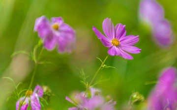 цветы, фон, лепестки, размытость, космея, kannappan sivakumar
