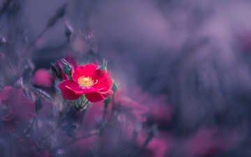 цветы, фон, размытость, шиповник, куст, kannappan sivakumar