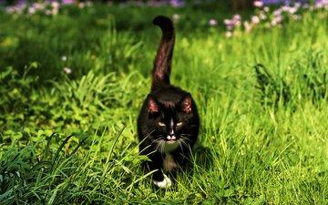 трава, мордочка, усы, кошка, взгляд, хвост, черный кот, by schafsheep
