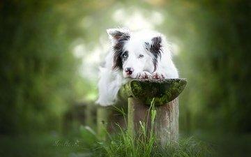 взгляд, собака, боке