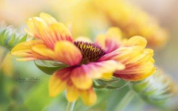 макро, цветок, гайлардия, jacky parker