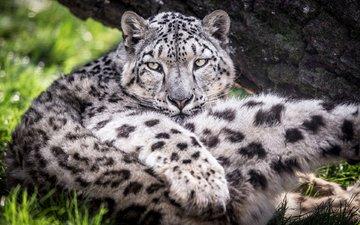 predator, big cat, snow leopard, irbis