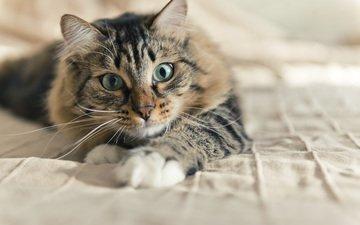 кот, мордочка, усы, кошка, взгляд, valeriya potapova