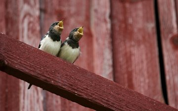 birds, chicks, forty, wet behind the ears, magpies