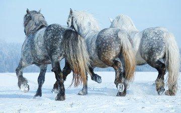 snow, winter, horse, horses, mane, tail, hooves, three, horseshoe