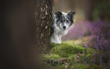flowers, tree, look, dog, moss, bokeh, the border collie