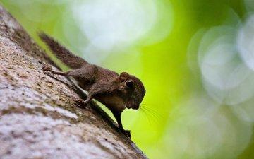tree, trunk, protein, malaysia, bokeh, squirrel, borneo