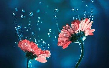 цветы, фон, капли, лепестки, стебли, герберы