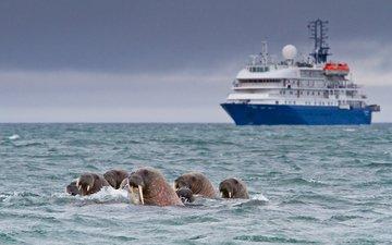 корабль, судно, морские котики, моржи