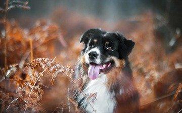 растения, собака, язык, австралийская овчарка, аусси