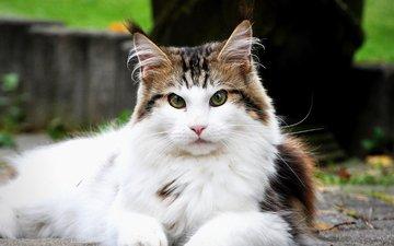 кот, мордочка, усы, кошка, взгляд, мейн-кун