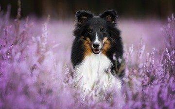 цветы, мордочка, взгляд, собака, шелти, aleksandra kielreuter