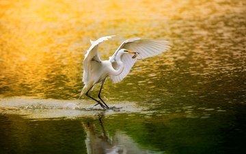 lake, wings, bird, beak, feathers, fish, fishing, heron