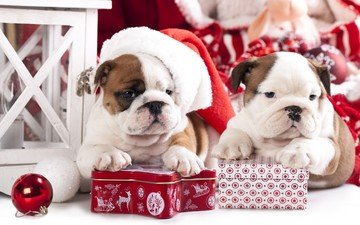new year, gifts, puppies, dogs, english bulldog