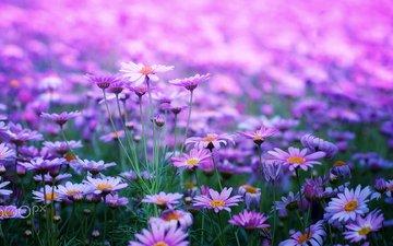 blumen, blütenblätter, unschärfe, stängel, gänseblümchen
