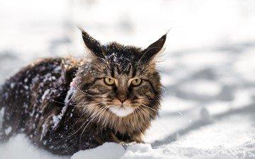 снег, зима, кот, мордочка, усы, кошка, взгляд, мейн-кун
