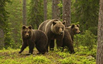 bears, bear, sylwia domaradzka