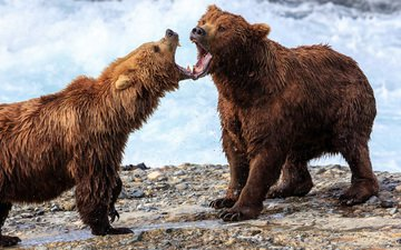 медведь, медведи, аляска, гризли, david swindler