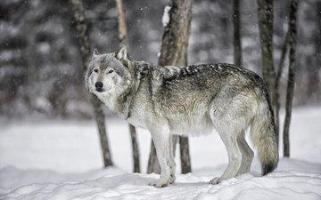 снег, лес, зима, хищник, волк, daniel parent