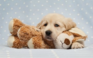 dog, toy, puppy, golden retriever
